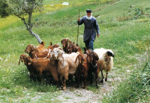 epirus sheep and goats